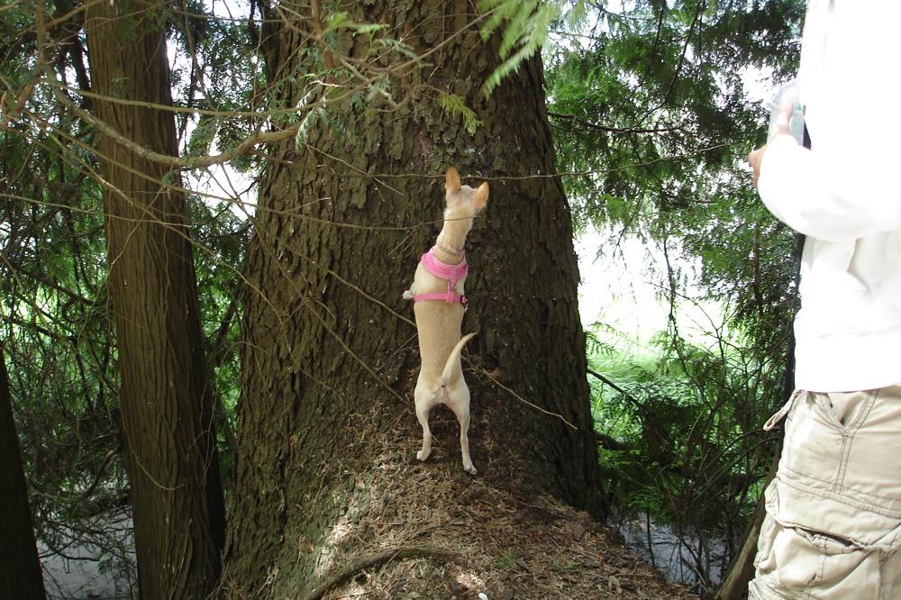 Minou climbing a tree