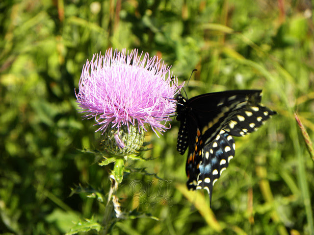 DSCN4399 Butterfly on Thistle