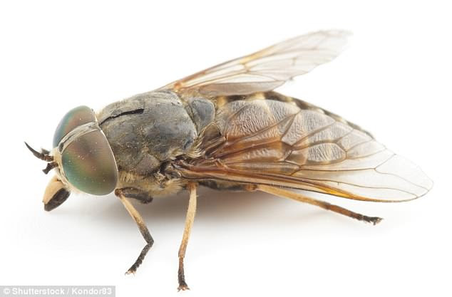 Horseflies are more active in summer and bite people and other mammals because they need the minerals from blood in order to lay their eggs