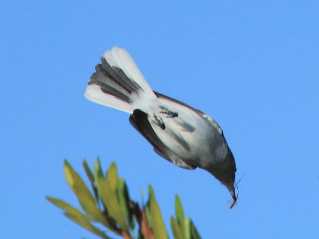 Blue-gray Gnatcatcher 3-20121201