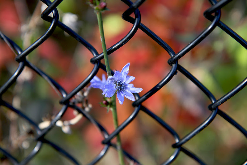 chicory in autumn