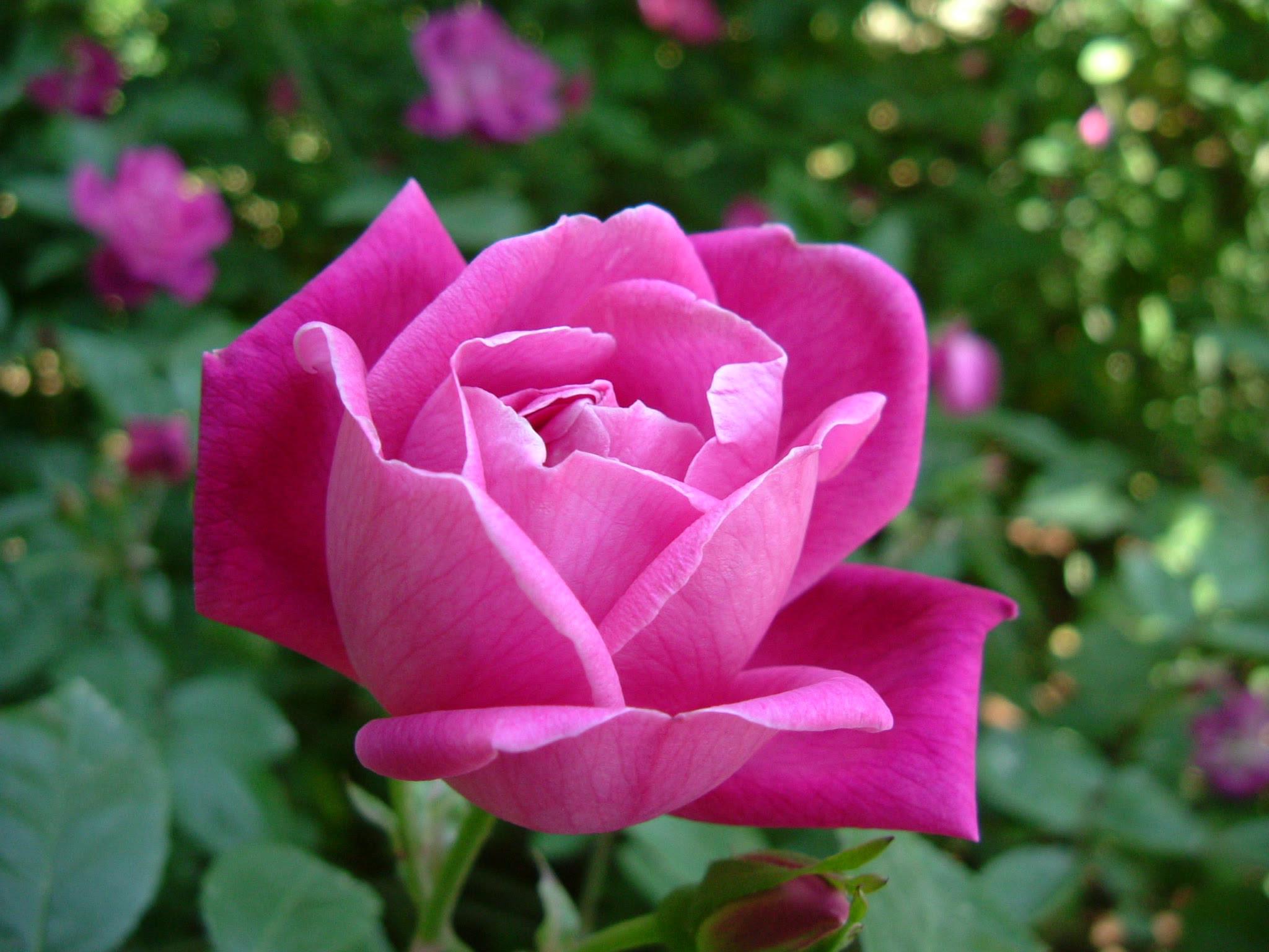 Clasificación Taxonómica De La Rosa Chinensis Biogeo1trsal