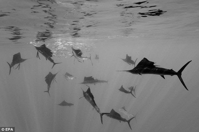Atlantic Sailfish attack Spanish sardines, off Yucatan Peninsula, Mexico, in a picture by photographer Reinhard Dirscherl, Germany, which won 2nd Prize Singles Nature