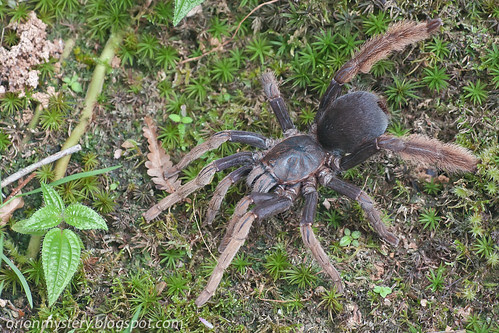 tarantula spider, Coremiocnemis hoggi IMG_9211 copy