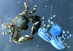 Porcelain Crab Research Sheds Light On Water Flea Genome Sf State News