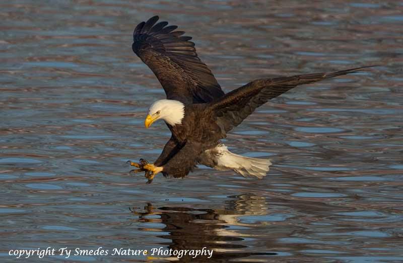 Bald Eagle Catching Fish Des Moines River