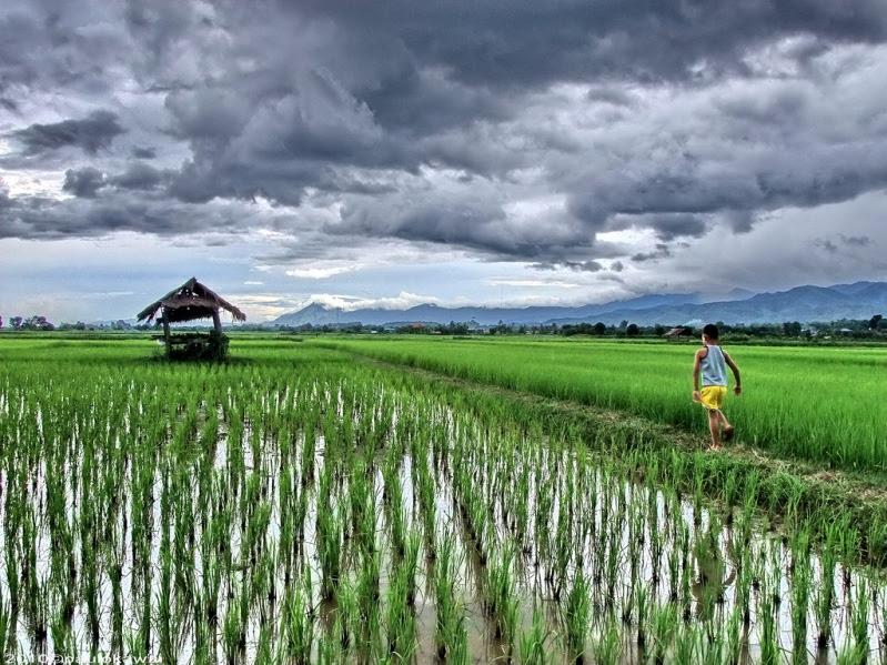 Как растет рис. Фото
