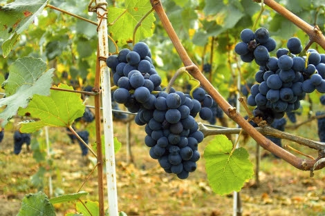 Las uvas parecen proteger frente a la diabetes.   EL MUNDO