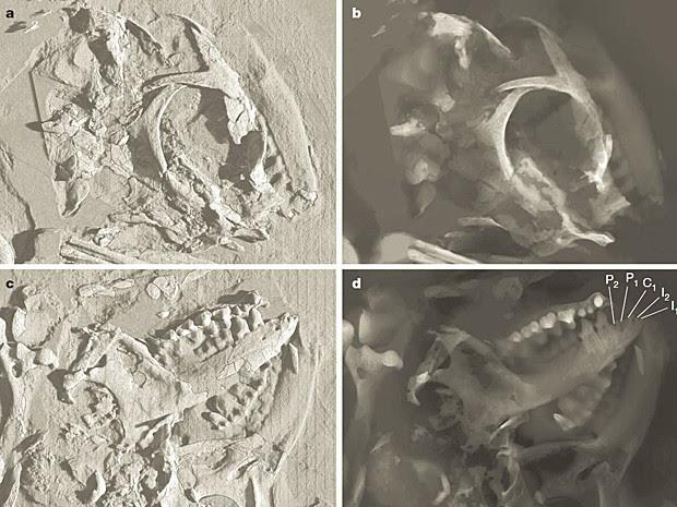 Região do crânio do animal vista de diferentes ângulos. Nas imagens C e D, é possível ver os dentes na mandíbula (Foto: Nature/Divulgação)