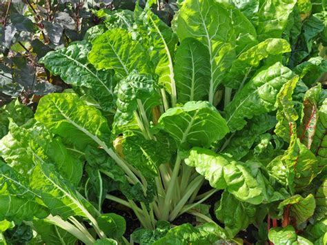 mangold fordhook giant groensaker beta vulgaris