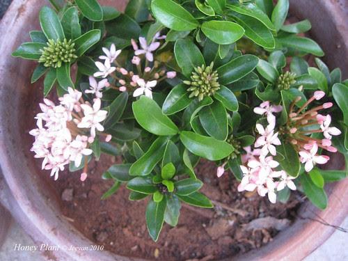 Honey plant