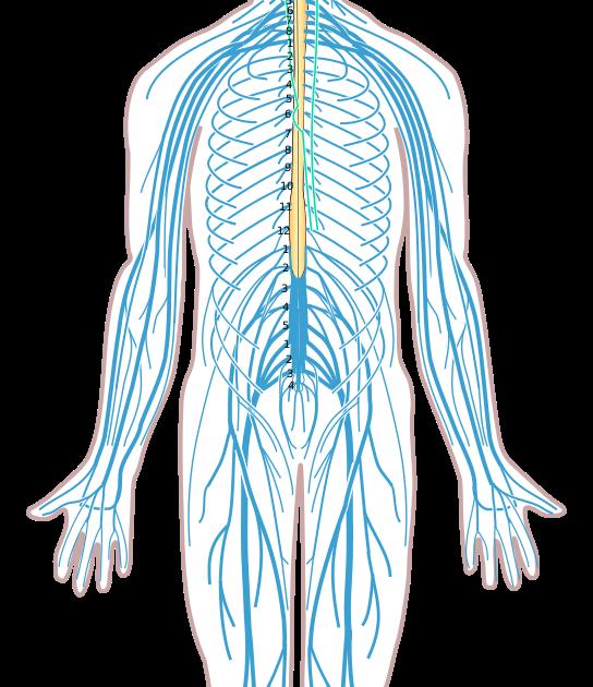 Blank Nervous System Diagram - The Nervous System ...