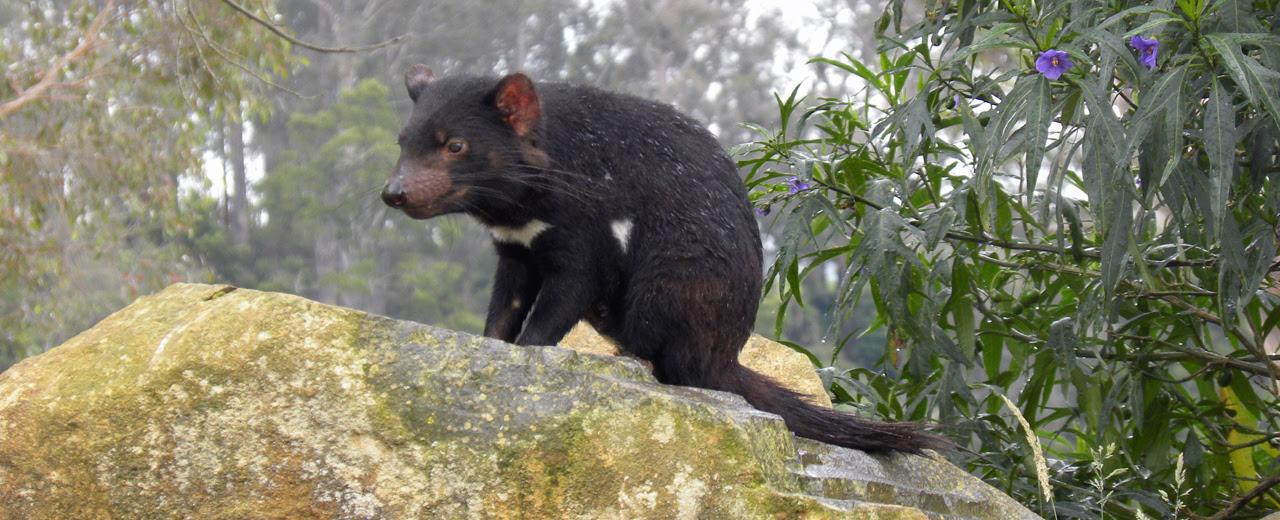 """Molécula """"brasileira"""" pode salvar diabo-da-tasmânia de extinção"""