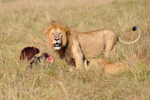 LionwithBuffaloCarcass