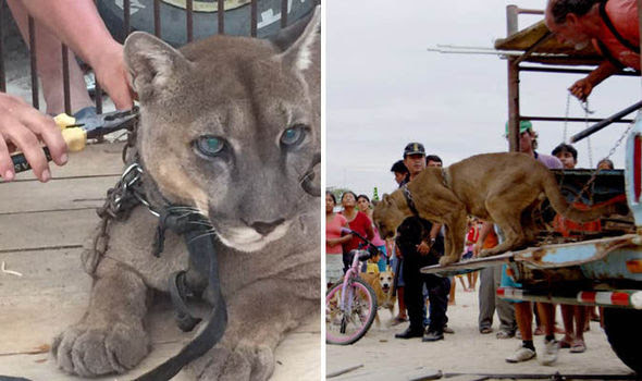 Image result for Mountain Lion Returned To Rainforest After Being Chained For 20 Years