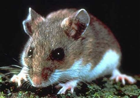 Deer Mouse, White Footed Mice