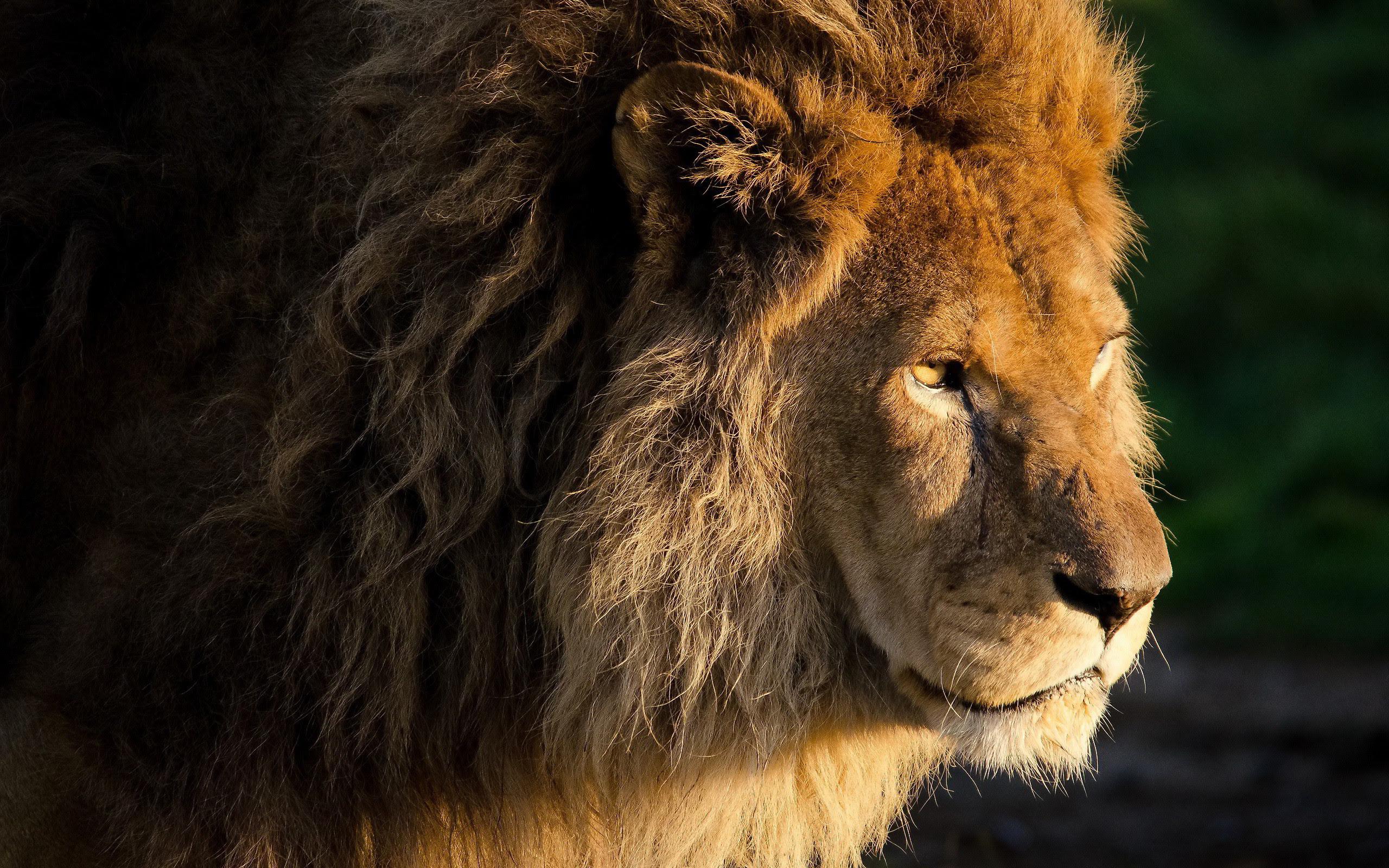 Lion Wallpaper Macbook