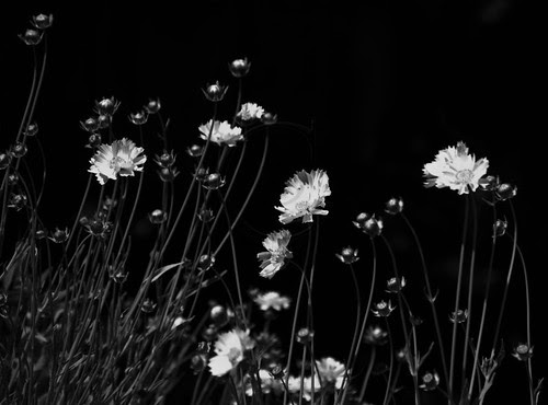Orillia - Coreopsis plants in a local garden, swaying in the wind