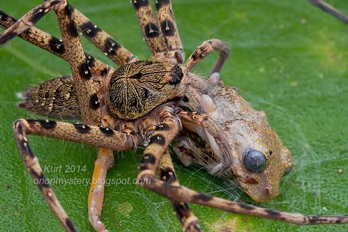 Heteropoda sp. huntsman with frog prey IMG_5286 copy