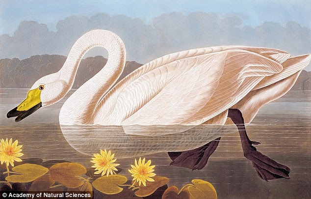 Fitting: Audubon insisted on fitting the birds on the book's pages which at the time could not be made any larger than what is seen today