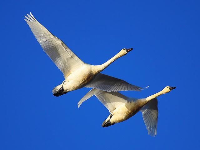 IMG_7362 Tundra Swan (Cygnus columbianus)