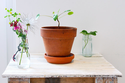 chinese money plant Pilea peperomioides