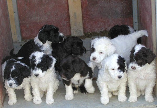 Portuguese Water Dog A set of puppy
