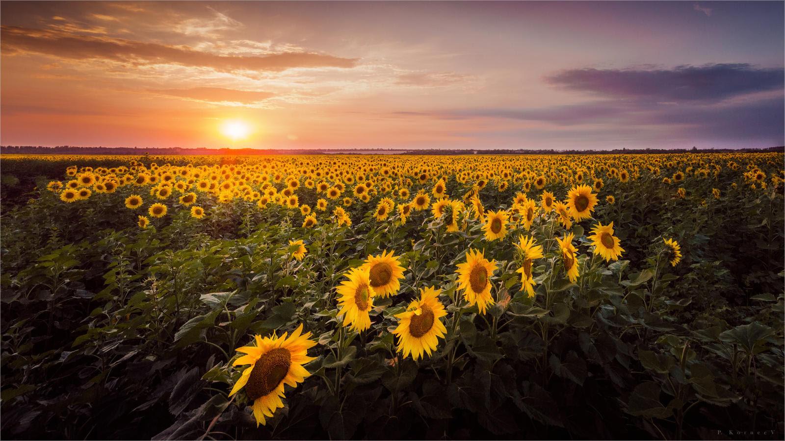 Sunset sunflowers by hitforsa on DeviantArt