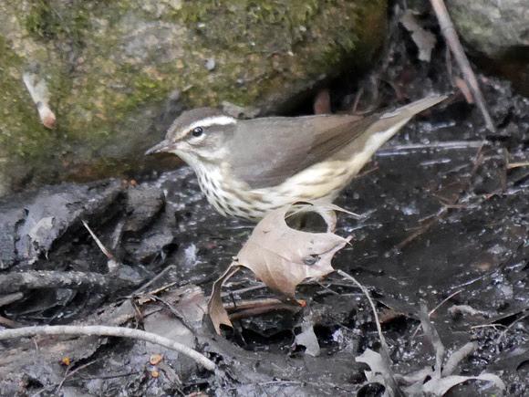Ed Gaillard: birds &emdash; Louisiana Waterthrush, Central Park