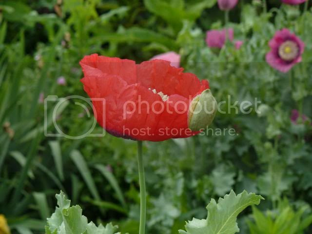 poppy photo poppiesorangeyred_zpsf0db17b0.jpg