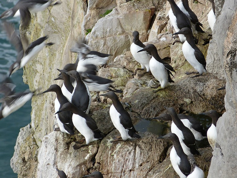 29045 - Guillemots, Stackpole Head