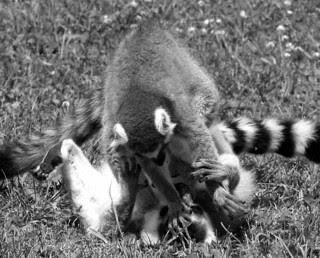 Black Friday shopping - Lemur style!