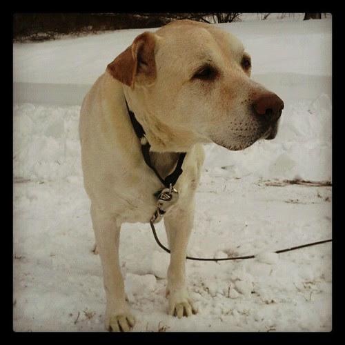 My big watching his Daddy snowblow the driveway. #Blizzard2013 #Nemo #dogstagram #bigdog #snow