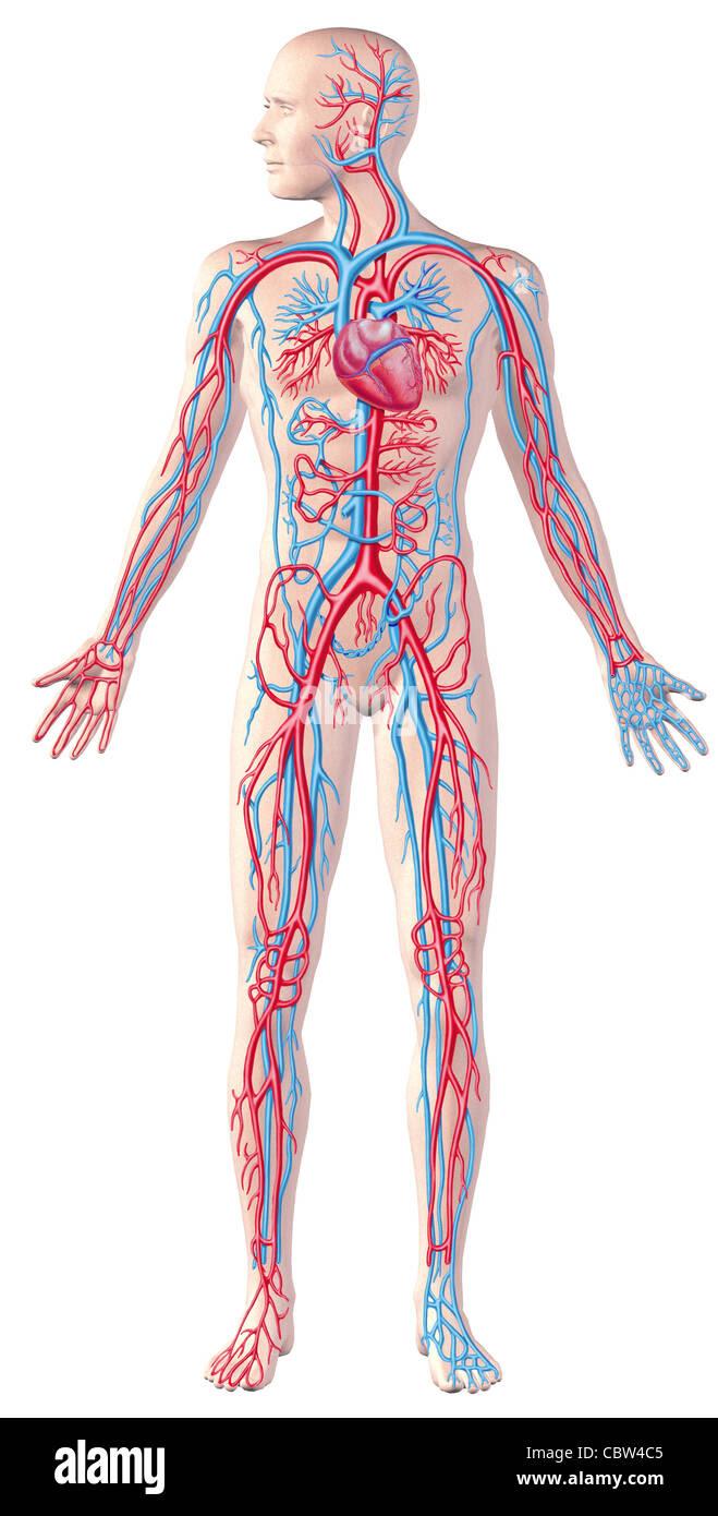 human circulatory system full figure cutaway anatomy illustration CBW4C5