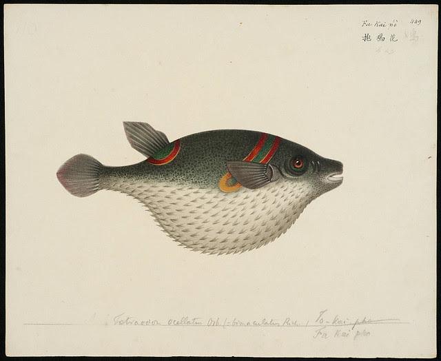 Tetraodon ocellatus Osb [Tetraodon ocellatus Linnaeus, 1758] (= bimaculatus Rich.) [Tetraodon bimaculatus Richardson, 1845]