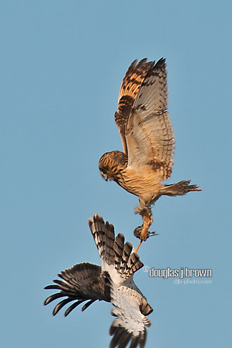Short Eared Owl & Harrier
