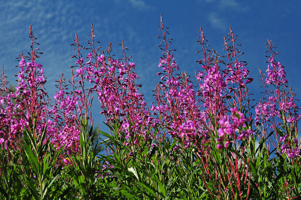 Fireweed on Schofield Pass