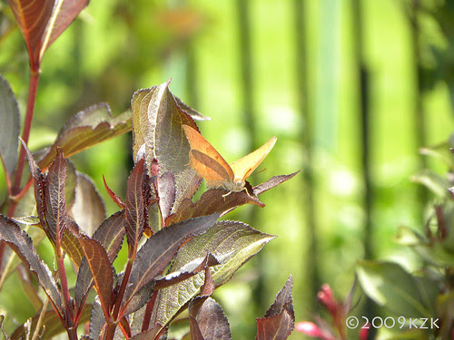 Butterfly on Wine and Roses Weigela