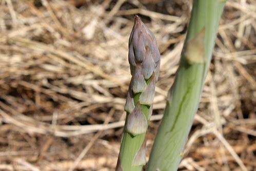 asparagus 082