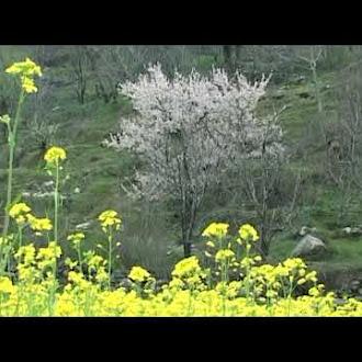 MUSTARD FLOWER VIDEO ROYALTY FREE VIDEO sarson ka phool background