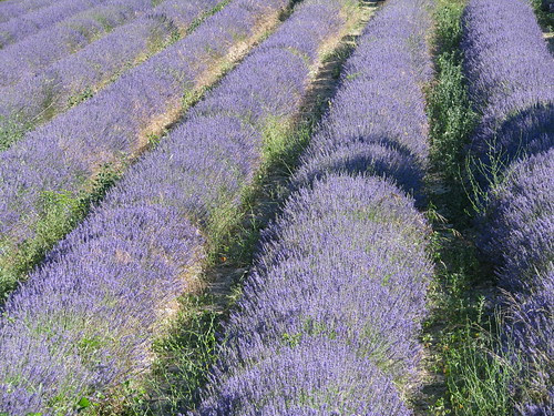 Lavender rows at Senanque Abbey