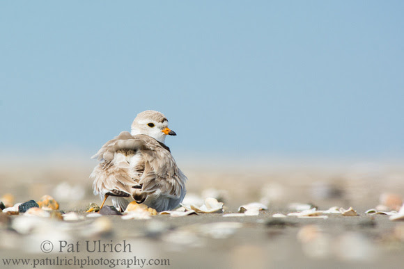 Wildlife Photography by Pat Ulrich: Plovers &emdash; Plover parent with one chick under its wing