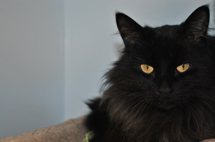 long haired black kitty with gold eyes