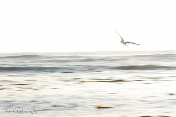 Seagull taking flight over the ocean at sunset