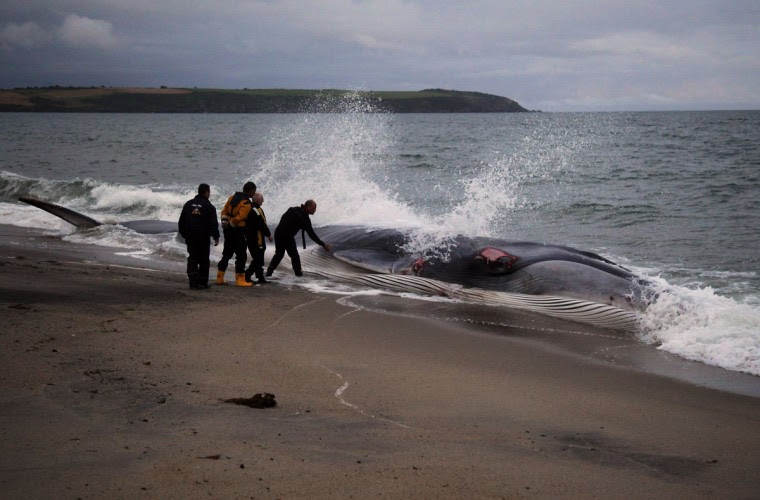 Rescuers examine a female fin whale, which lies alive and stranded on the beach at Carlyon Bay on August 13, 2012 in St Austell, England. Fin whales are globally an endangered species and the second largest animal on the planet. (Matt Cardy/Getty Images)