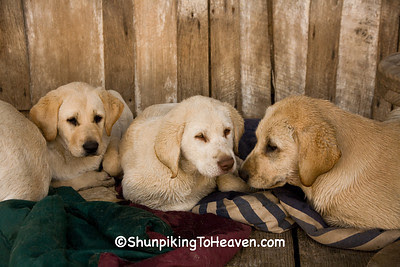 Yellow Labrador Puppies, Penn's Store, Casey County, Kentucky (at the Boyle County Line)