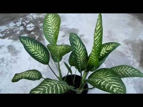 My Son Died for This Damn Plant It Is Urgent That Everyone Knows, Kills a Child In 1 Minute and an Adult in 15!