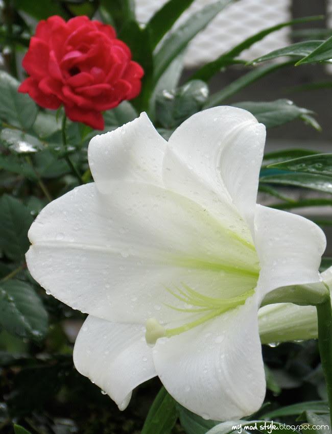 krohn lilly rose