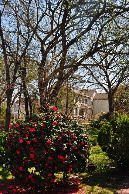 Camellia japonica (3)