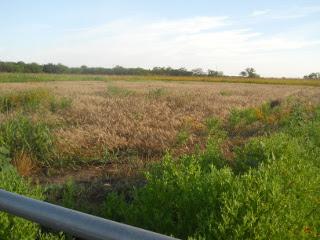 2015 Wheat, Early June